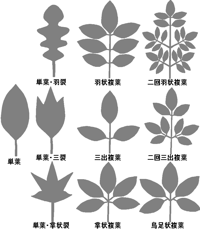 樹木の葉形(計測編)