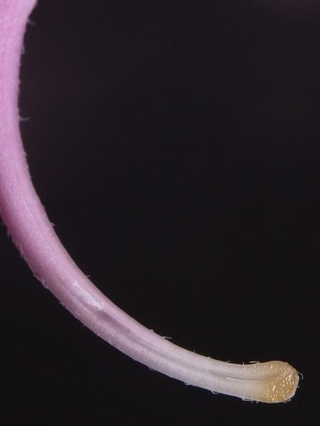 ホウセンカの画像 p1_34