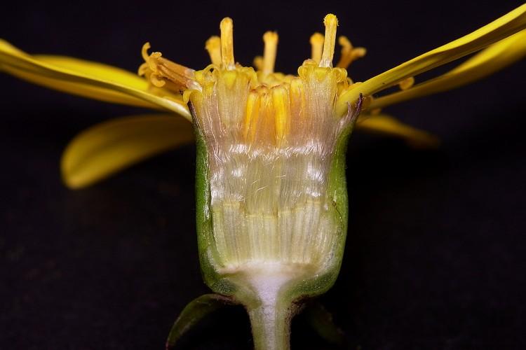 タンポポ 花のつくり