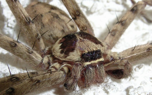 アシダカグモの画像 p1_14